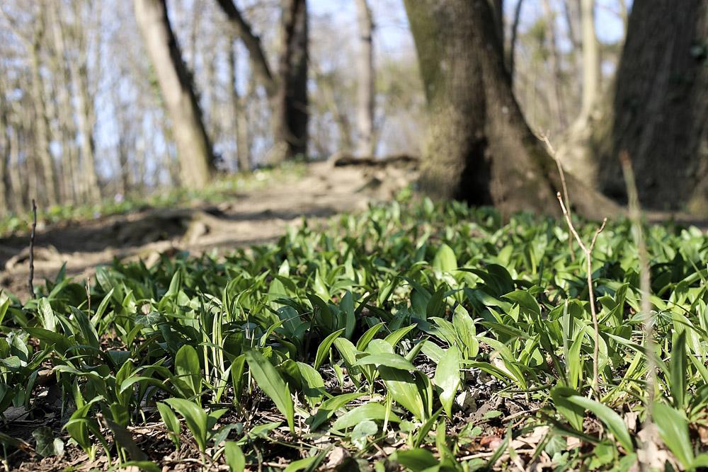 Bärlauch Wald Herz Arteriosklerose Würmer Gesund Wildkräuter