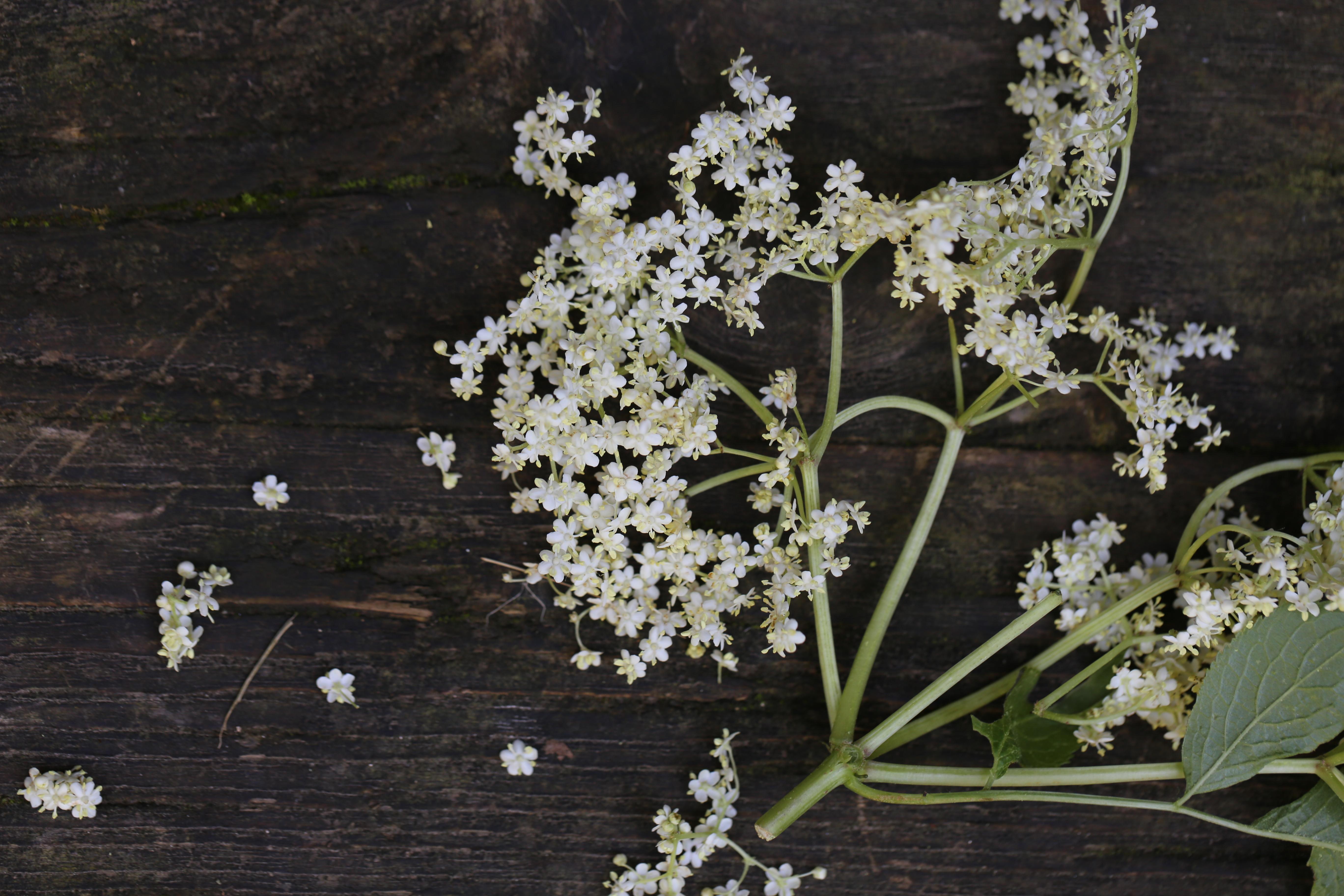 Holunder Blüten Fieber fiebersenkend Erkältung
